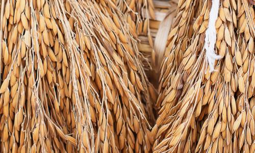 son-de-riz-latelier-des-delices-1500-x-430